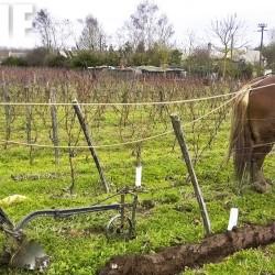 Le travail de la vigne à cheval – Bourgueil – 2018